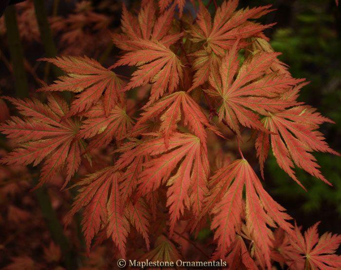 Acer palmatum 'Ariadne' - Japanese Maples › Palmatum | Maplestone Ornamentals