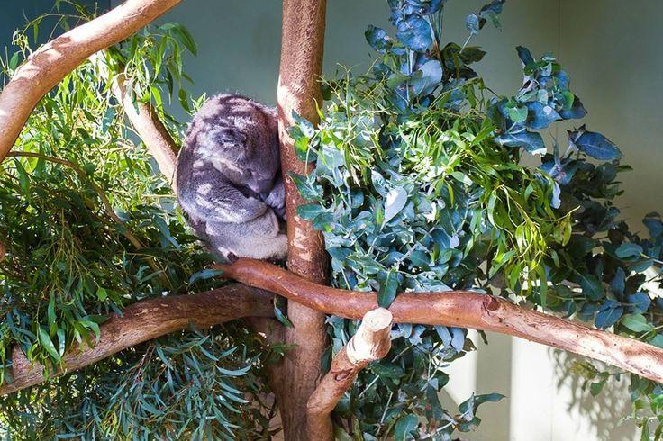 Back in Tassie - a ball of cutiness  #tasmania #tassie #island #koala #animal #pure #cute #sleepingbeauty #tree #holiday #wilderness #nature #sanctuary #beautiful #backpacking #happy #love #trip #adventure #travelling #nofilter #photooftheday #naturelovers #love #wanderlust #instatravel #instagood #instadaily #lonelyplanet #worldtravelpics