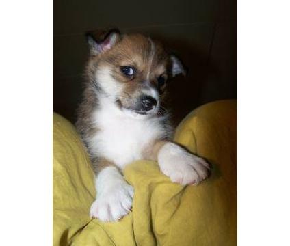 Norwegian Lundehund Puppies For Sale