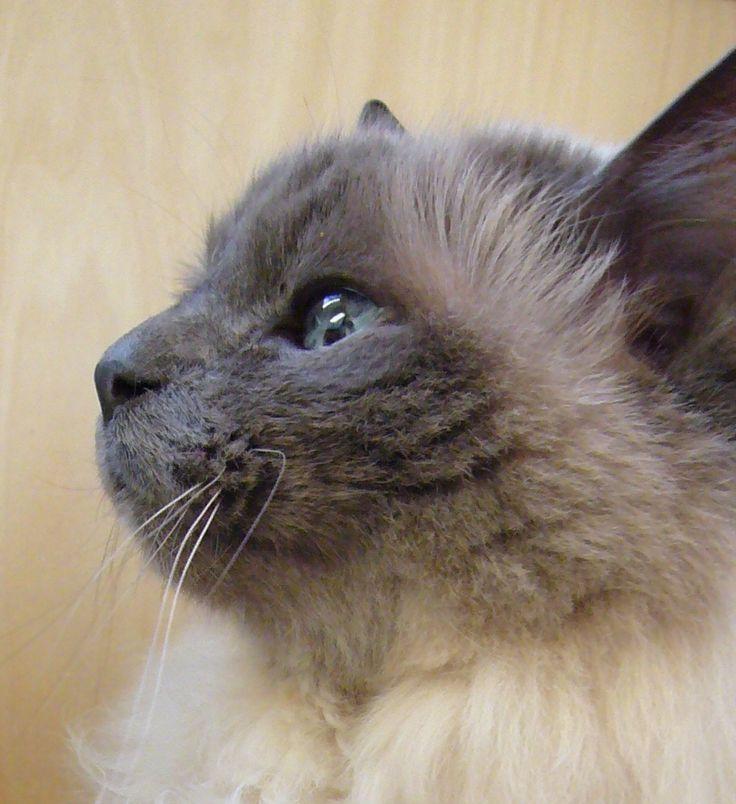19 best birman cat images on Pinterest Birman cat Animals and