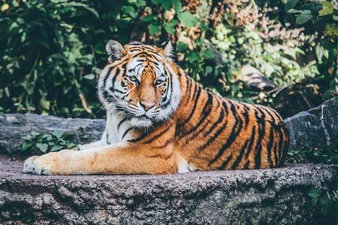 Tiger Endangered Status