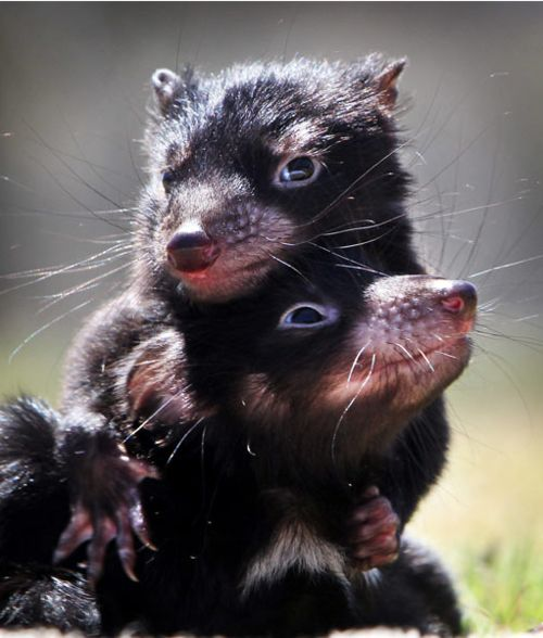 Tasmanian Devil, Endangered   ...........click here to find out more     http://googydog.com