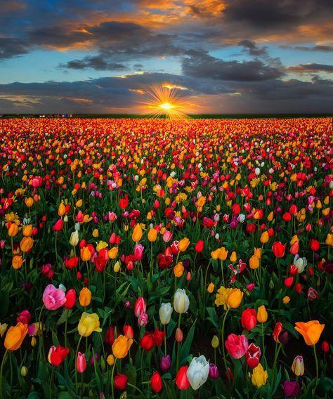 Last Moments Of Warmth - Wooden Shoe Tulip Farm, Oregon