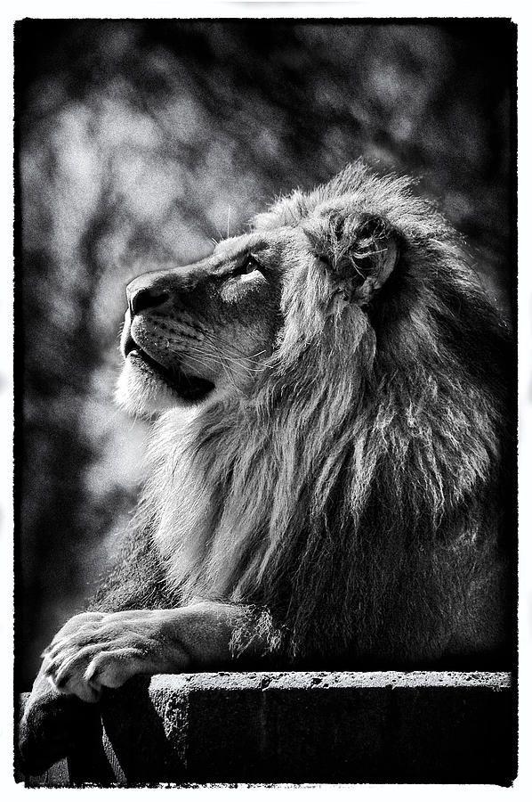 Lion Meditating Photograph  - Lion Meditating Fine Art Print