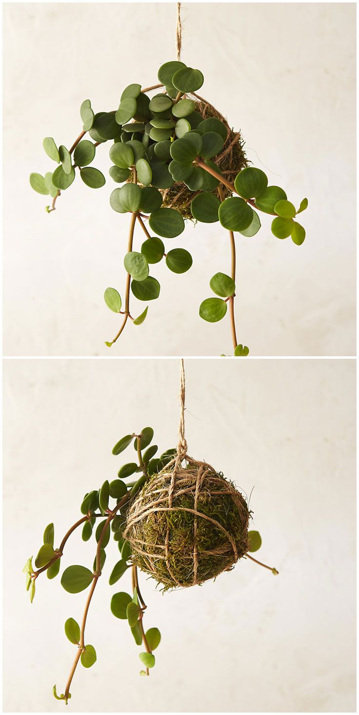 Indoor/outdoor hanging moss balls filled with plants