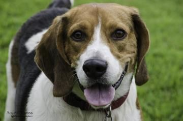 2 / 23 Petango.com – Meet DJ, a 3 years 11 months Basset Hound / Foxhound, American available for adoption in IRMO, SC Contact Information Address PO BOX 4335, IRMO, SC, 29063 Phone (803) 454-9094 Email HomewardBoundRescue@hotmail.co m