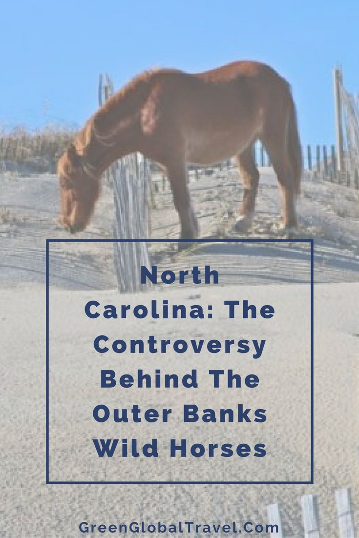 Read more about why there is a controversy about the Outer Banks Wild Horses, their history, our own wild horse adventure tour, and the Corolla Wild Horses Protection Act Ecotourism   Responsible tourism   Wildlife conservation projects   North Carolina - @greenglobaltrvl