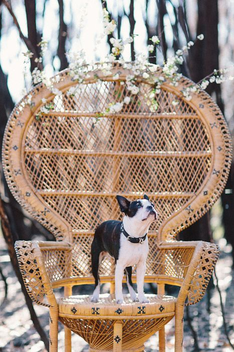 Boston Terrier Stelly! Check it out here: http://bostonterriersrock.com