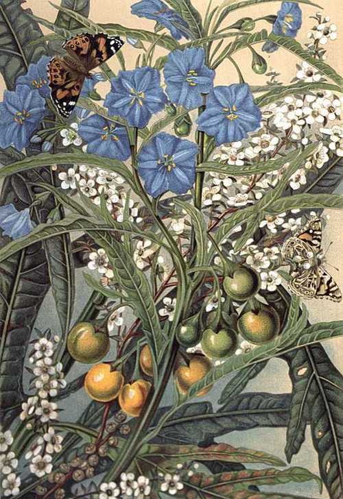 "Kangaroo Apple - Coloured lithographic print (1891) from ""Bush friends in Tasmania"" by Louisa Anne Meredith (1812-1895).  I Believe this is Nightshade"