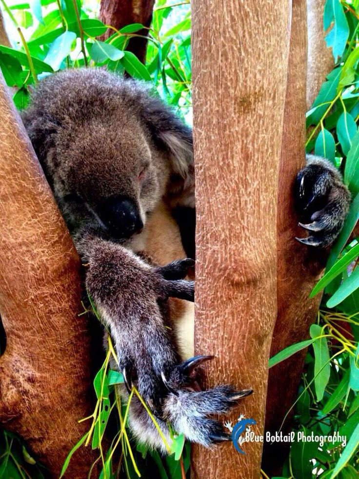 Koalas sleep for 18 hours, meaning that over an average 10 year lifespan, they are only awake for 2.5 years! #koala