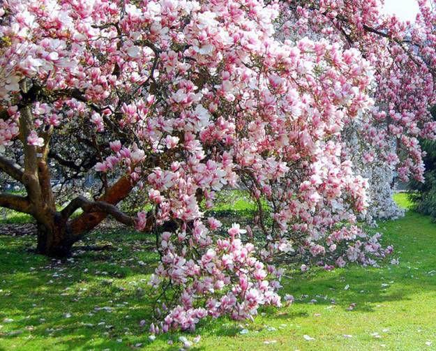 Image from http://2.lushome.com/wp-content/uploads/2014/08/garden-design-yard-landscaping-ideas-magnolia-tree-spring-flowers-1.jpg.
