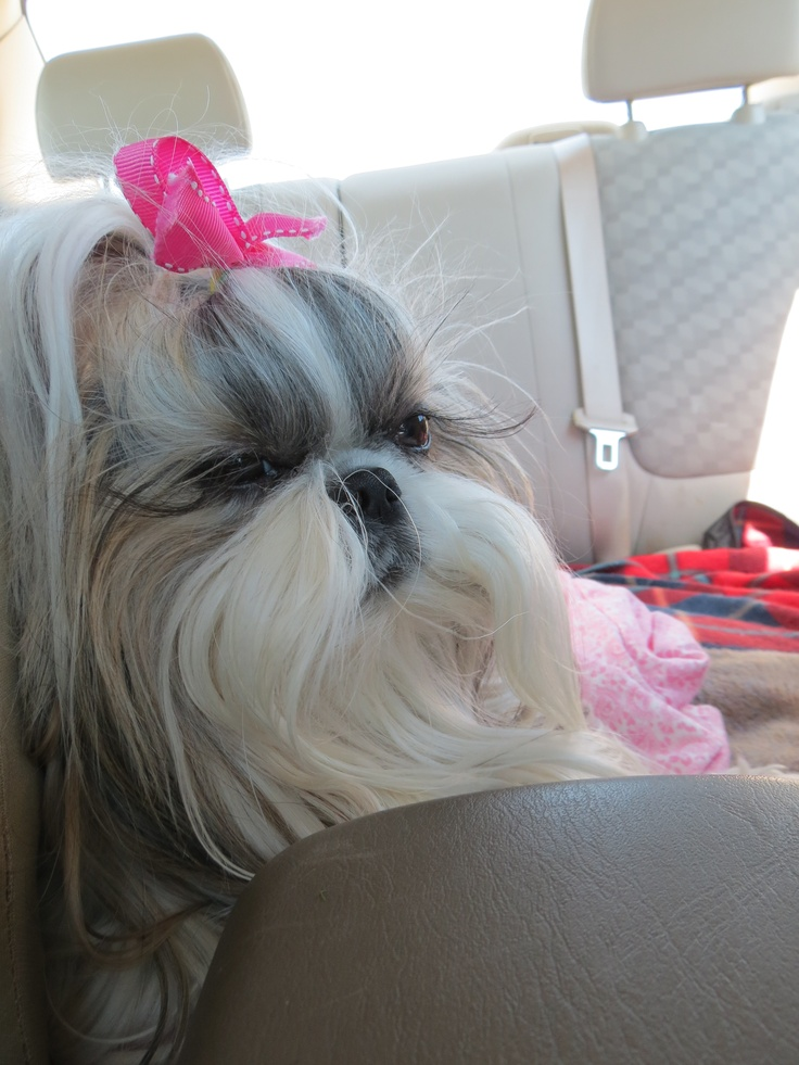 long haired shih tzu 66 best images about long haired shih tzu on pinterest 8111