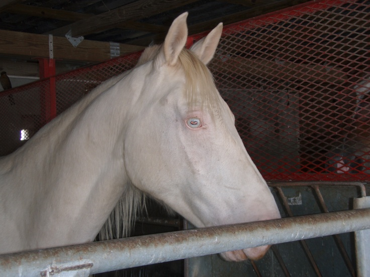 Rare Albino Horses 1000+ images about Alb...