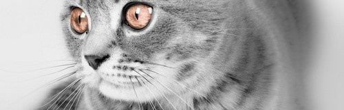 Scottish Fold - Miau, el blog de gatos de Maskokotas  #gatos #mascotas #animales