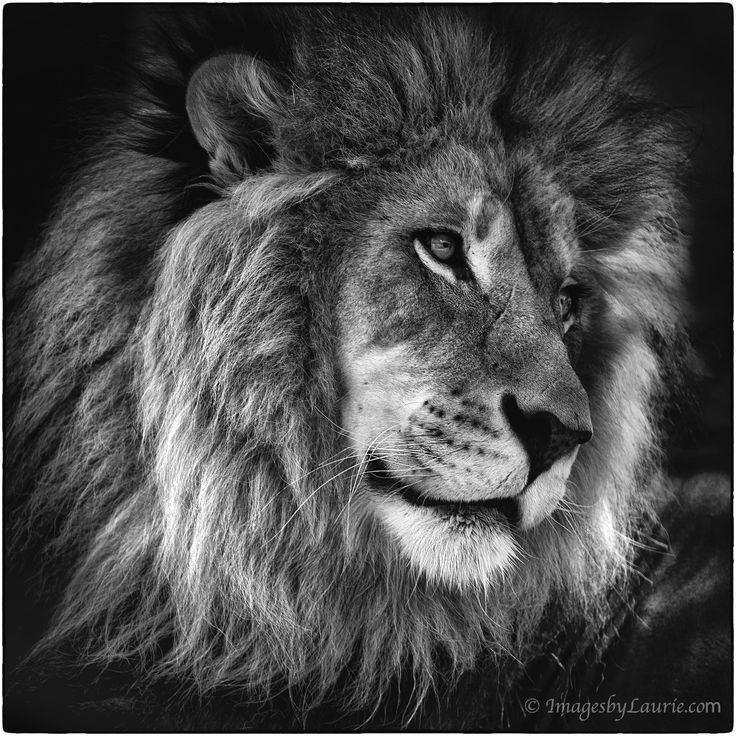 Lion Protrait in B&W