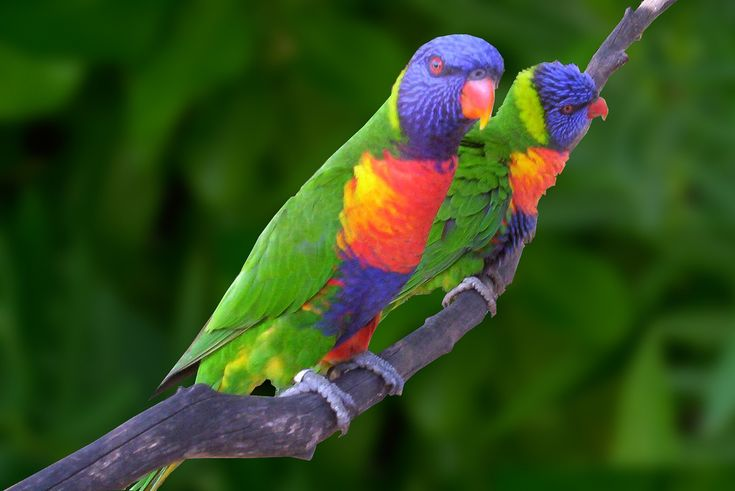 Lory Parrots @ Ardastra Gardens