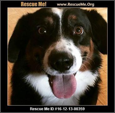 ― Arizona Bernese Mountain Dog Rescue ― ADOPTIONS ―RescueMe.Org