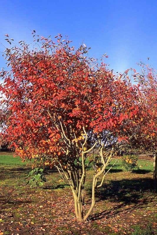 Autumn Brilliance Service Berry Multi Stem Grows 7 8 Feet