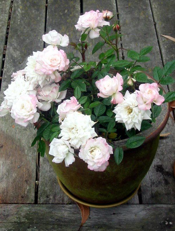 Image result for white rose garden pinterest
