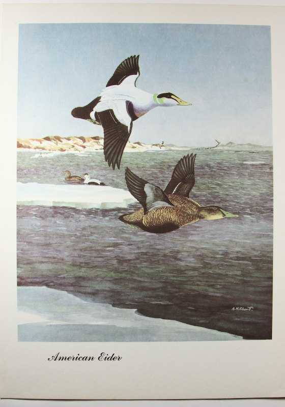 Vintage 1957 Duck Lithograph American Eider by OldTimersClub, $7.00