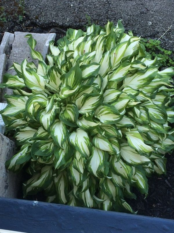 Hosta Cultivar (hosta species): We apologize but there are thousands of Hosta cultivars and we cannot identify a specific cultivar for you, but suggest you contact a Hosta Society to see if they can't tell you more about the plant. These plants love moist, well drained soil in light or full shade.  Most garden club members are happy to help interested gardeners.