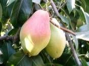 Armut Fidanı Santa Maria 5 Yaşında http://www.fidanistanbul.com/urun/2435_armut-fidani-santa-maria-5-yasinda.html Fidan Satışı, Fide Satışı, internetten Fidan Siparişi, Bodur Aşılı Sertifikalı Meyve Fidanı Süs Bitkileri,Ağaç,Bitki,Çiçek,Çalı,Fide,tohum,toprak