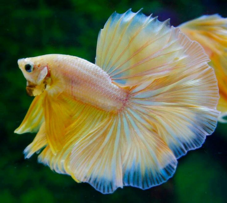 Yellow butterfly hm beautiful betta fish pinterest for Butterfly betta fish
