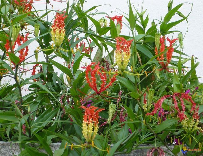 ГЛОРИОЗА РОСКОШНАЯ (Gloriosa superba) Глориоза ядовита, особенно ее корни, из-за содержания высоко активного алкалоида колхицина