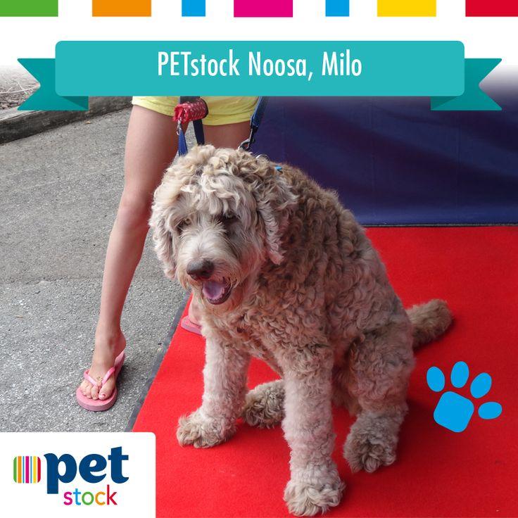 Milo the PETstock Noosa winner