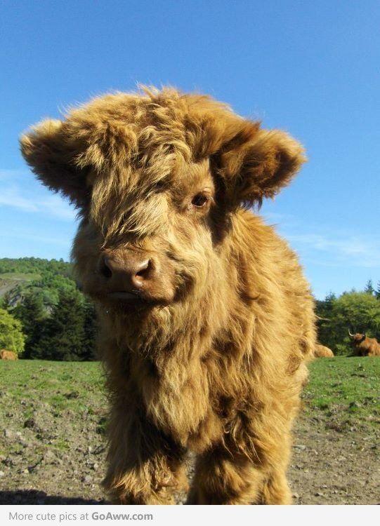 A baby highland cow - awwwwwww sooooo sweet