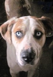 BUBBA is an adoptable Catahoula Leopard Dog Dog in Mims, FL. He showed up in someone's driveway this morning, and was seen running after a 'Budget ' rent-a-truck earlier. Bubba was obviously chasing h...