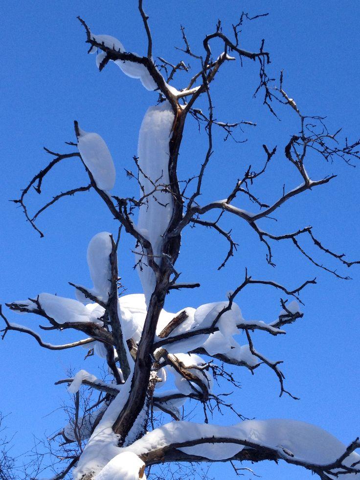 Talvinen kelopuu koitelissa .