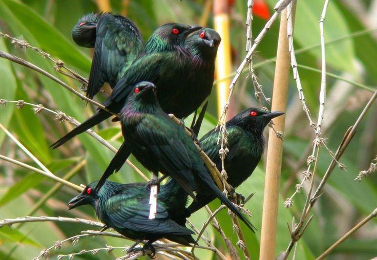 Burung Black pitohui (pinterest.com)