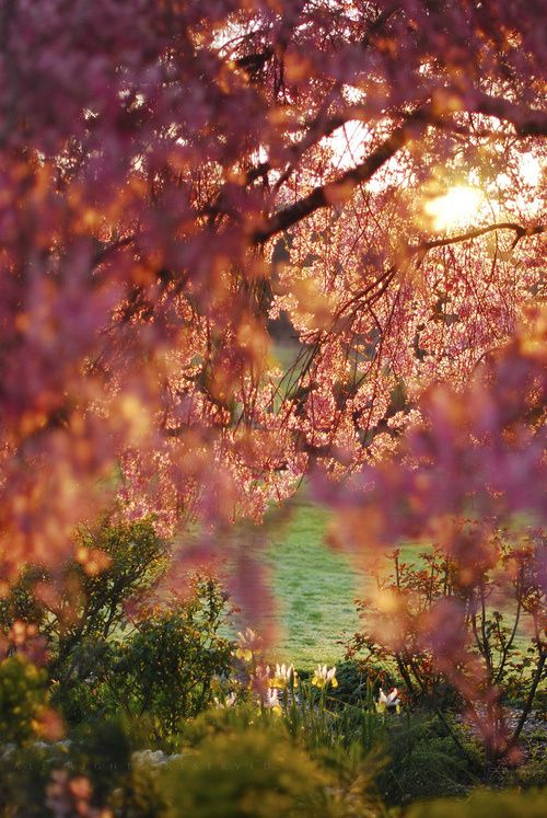 Spring, Craigeburn, New Zealand: Cherries Blossoms, Curtains, Sunrises Blossoms, Beautiful Scenery, Cherries Bloom, Trees, Sunri Blossoms, Branches, New Zealand