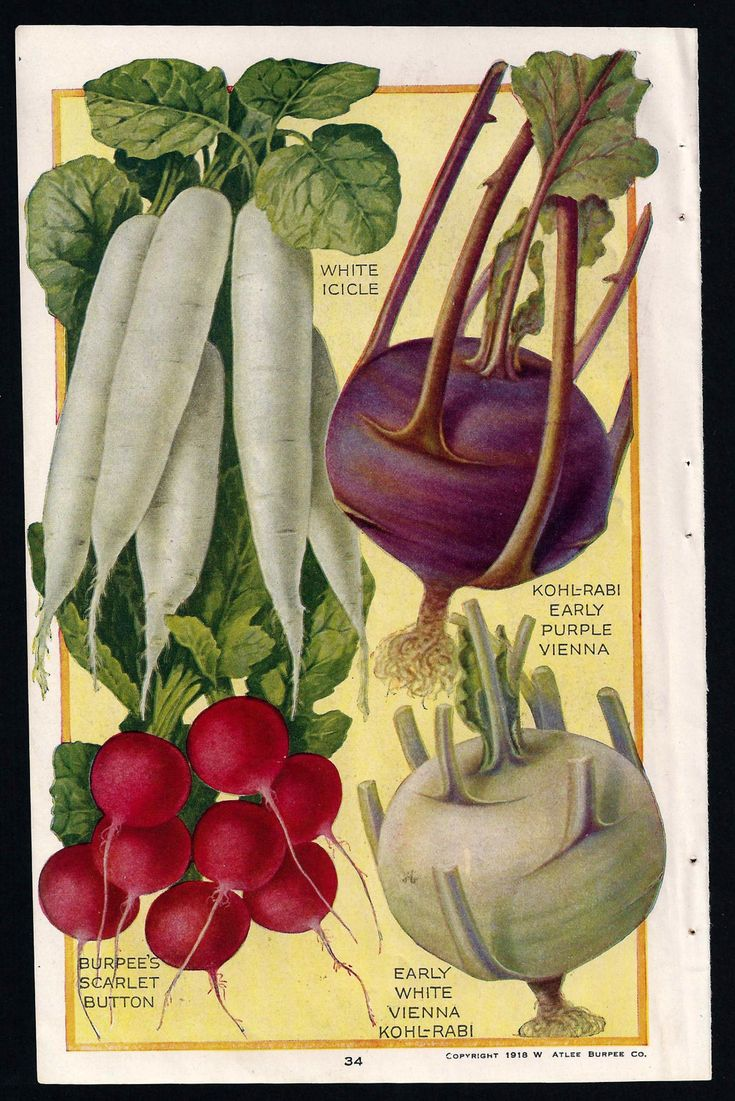 Reserved - Authentic Botanical Prints - 1919 Burpee Seed Catalog illustrations - Radishes and Kohlrabi - Beets and  Carrots. $9.00, via Etsy.