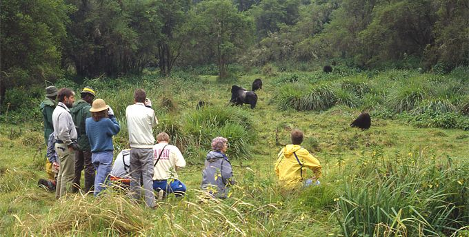 gorilla tracking free pics - Google Search