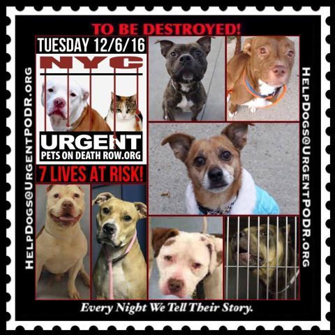 "7 BEAUTIFUL LIVES TO BE DESTROYED 12/06/16 @ NYC ACC **SO MANY GREAT DOGS HAVE BEEN KILLED: Puppies, Throw Away Mamas, Good Family Dogs. This is a HIGH KILL ""CARE CENTER"" w/ POOR LIVING CONDITIONS.  Please Share:    To rescue a Death Row Dog, Please read this: http://information.urgentpodr.org/adoption-info-and-list-of-rescues/ /"