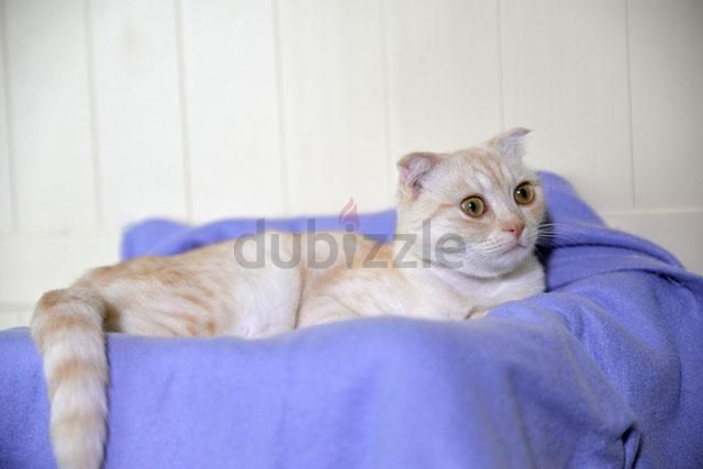 Dubizzle Dubai Cats Scottish Beauty Moira Knows How Cute She Is With Images Cats Cute Pets