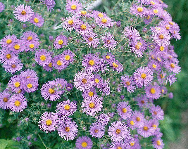 Aster flower | Etsy