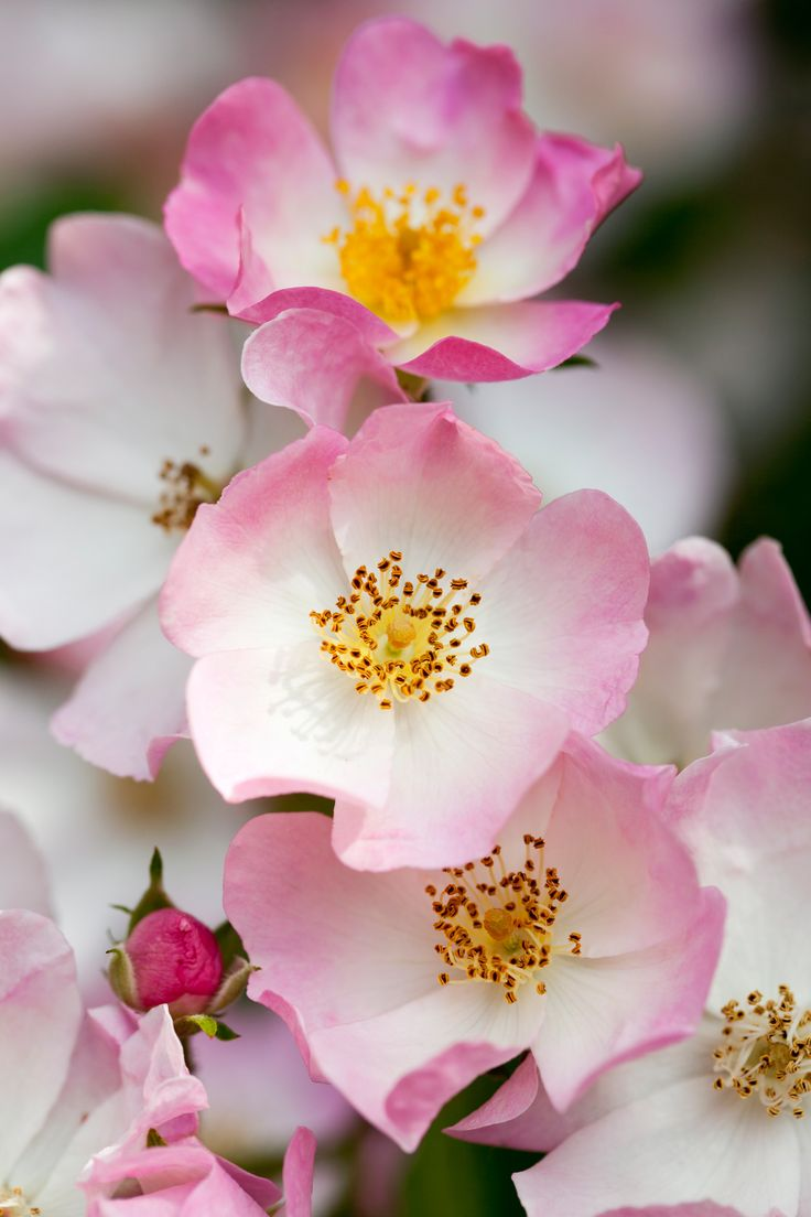 102 best flower emblems images on pinterest flowers nature and 50 beautiful flowers for every state in the union dhlflorist Image collections