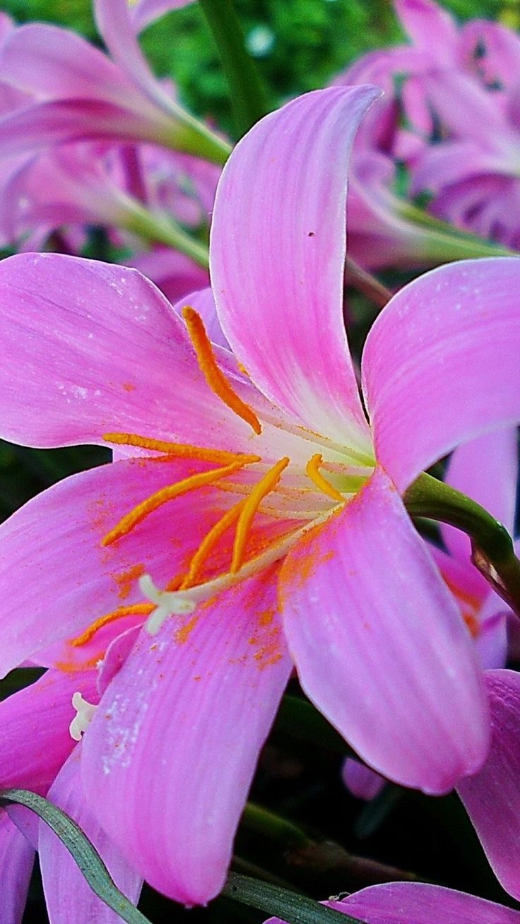 Beautiful flowers garden beautiful lilies flowers for Beautiful flowers to plant in your garden