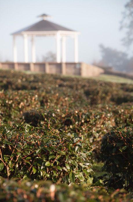 Winter morning at Zealong Tea Estate