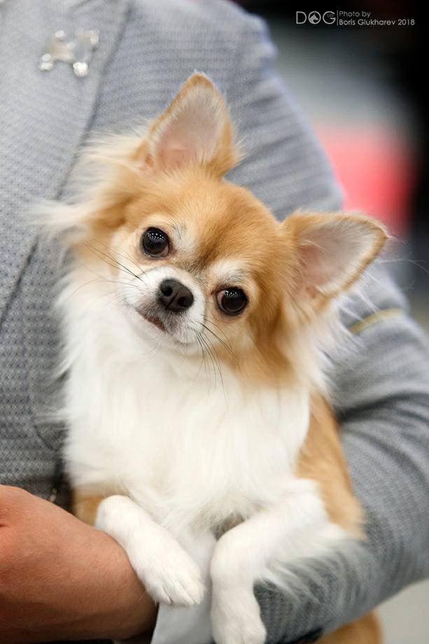 I M Listening Chihuahua Chihuahua Dogs Cute Chihuahua