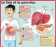 Le foie et le pancréas - Le Petit Quotidien, le seul site d'information quotidienne pour les 6-10 ans !