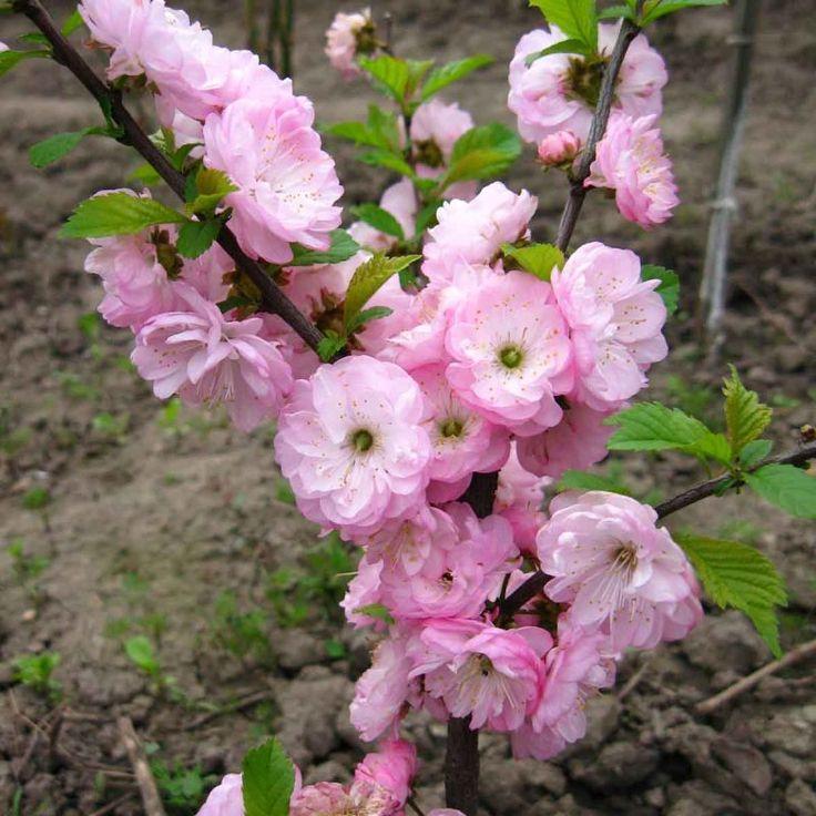 """Миндаль """"Трехлопастной"""" - Саженцы плодовых деревьев - купить в Одессе, Украине по цене 48,00 грн - Agro-Market"""