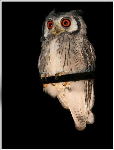 Midstream is well known for the owl species found on the estate.  It houses an Owl Sanctuary for the safekeeping and preservation of the owls in the area. For more information visit www.midrand-estates.co.za