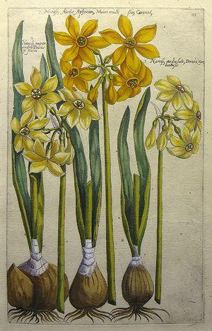 Plate 23. 1. Narciss Aureus Aphrican Major Multi flor Coronat, 2. Narciss major medio Luteus ex Italia, 3. Narcuss medio lute, Donas Nar bon...