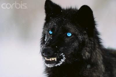 Black Wolf with Blue Eyes | The Deceased and Banished ...