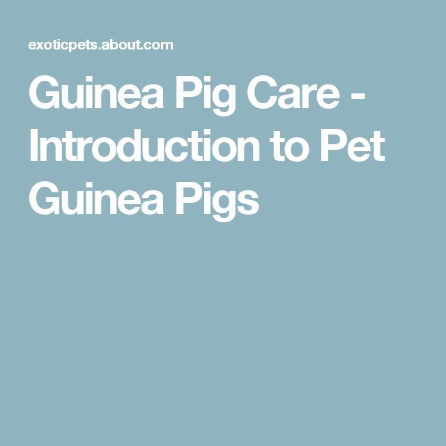 Guinea Pig Care - Introduction to Pet Guinea Pigs