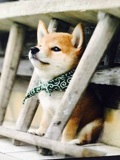 This adorable shiba inu puppy is made even cuter by wearing a scarf!